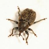 Toadflax Seedhead Weevil - Rhinusa antirrhini