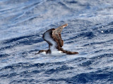 Audubon's Shearwater - Puffinus lherminieri