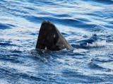 Whale Shark - Rhincodon typus