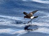 Wilson's Storm Petrel - Oceanites oceanicus