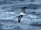 Black-capped Petrel - Pterodroma hasitata