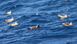 Sooty Shearwater - Puffinus griseus (with Great Shearwaters)