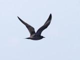 Long-tailed Jaeger - Stercorarius longicaudus