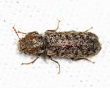Lichenophanes sp.