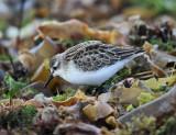 Semipalmated Sandpiper - Calidris pusilla