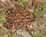 American Toad - Bufo americanus