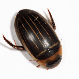 Hydaticus aruspex