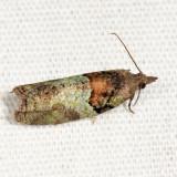 3286 - Raspberry Leaf-roller Moth - Epinotia medioviridana