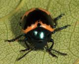 Swamp Milkweed Leaf Beetle - Labidomera clivicollis