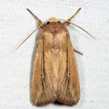 10444 - Phragmites Wainscot - Leucania phragmitidicola