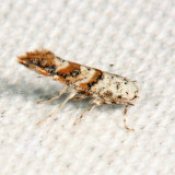 0823 - Solitary Oak Leafminer - Cameraria hamadryadella
