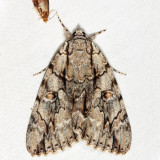 8788 - Yellow-gray Underwing - Catocala retecta