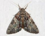 8795 - Oldwife Underwing - Catocala palaeogama