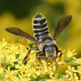 Megachile frugalis