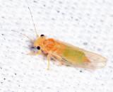 Cacopsylla annulata
