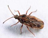 Physatocheila sp.