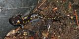 Spotted Salamander - Ambystoma maculatum