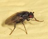 Leptocera sp.