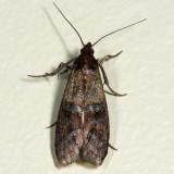 6019 - Indian Meal Moth - Plodia interpunctella