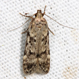 2099 – Boxelder Leafworm Moth – Chionodes obscurusella (probably)