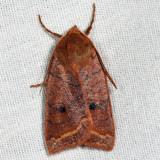 9947 - Pointed Sallow - Epiglaea apiata