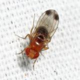 Spotted-winged Drosophila - Drosophila suzukii