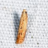 0145.9 - Tischeria sp.