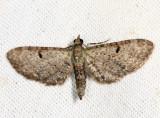 7474 – Common Eupithecia Moth – Eupithecia miserulata