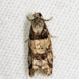 3269 - Red-striped Needleworm Moth - Epinotia radicana