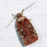 0869 - Agonopterix walsinghamella