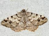 6343 – Six-spotted Angle Moth – Macaria sexmaculata
