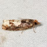 3280 – Birch Epinotia Moth – Epinotia trigonella