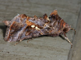 8890 – Soybean Looper Moth – Chrysodeixis includens