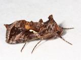 8908 – Common Looper Moth – Autographa precationis