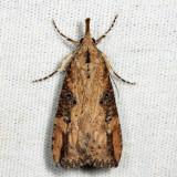 8461 - Hop-vine Moth - Hypena humuli