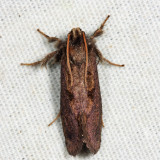 0367 - Grass Tubeworm Moth - Acrolophus morus