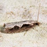 3351 - Diamondback Epinotia - Epinotia lindana