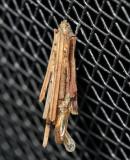 0437 - Bagworm Moth - Psyche casta