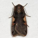10942 - Lesser Black-letter Dart - Xestia c-nigrum