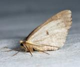 7437 - Bruce spanworm - Operophtera bruceata