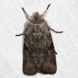 9910 – Ashen Pinion – Lithophane antennata