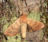 9957 - Bicolored Sallow - Sunira bicolorago