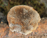 Gloeophyllum sepiarium - Brown Stain Polypore