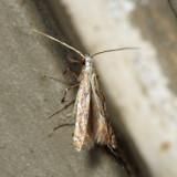 0692 – Acrocercops astericola