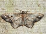 6654 - Hypagyrtis sp.