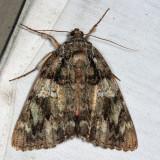 8801 – Ilia Underwing Moth – Catocala ilia