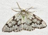 6906 - False Hemlock Looper - Nepytia canosaria