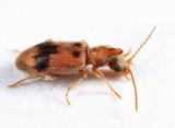 Notoxus desertus
