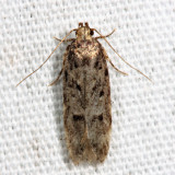 2119 - Chionodes thoraceochrella *
