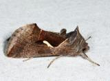 8924 – Celery Looper Moth – Anagrapha falcifera